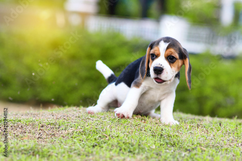 Photo Cute little Beagle playing alone in garden