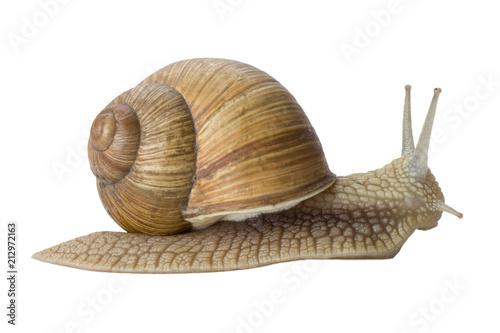 Gsrden snail isolated on white