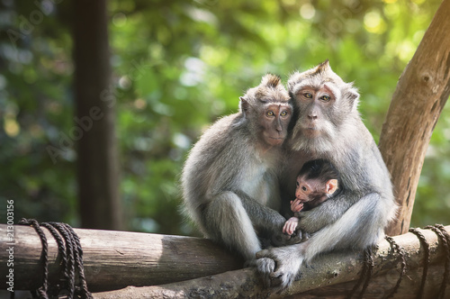 Family of monkeys with a little baby macaque near Tample in Monkey Forest, Ubud, Bali, Indonesia.