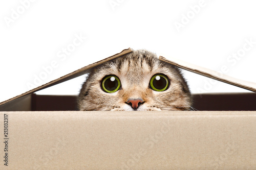 Portrait of a funny cat looking out of the box