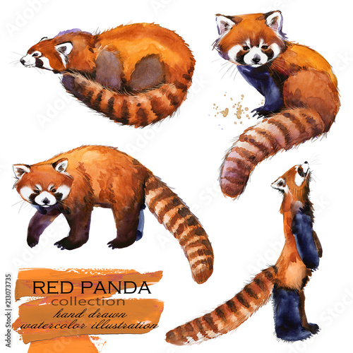 Obraz na płótnie Red Panda hand drawn watercolor illustration set