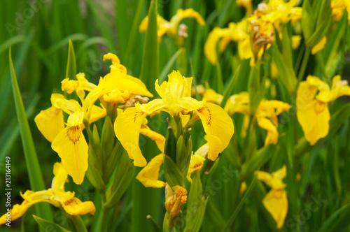 Iris pseudacorus yellow flowers with green grass