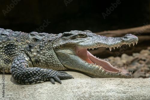 Siamese crocodile with open mouth (Crocodylus siamensis)