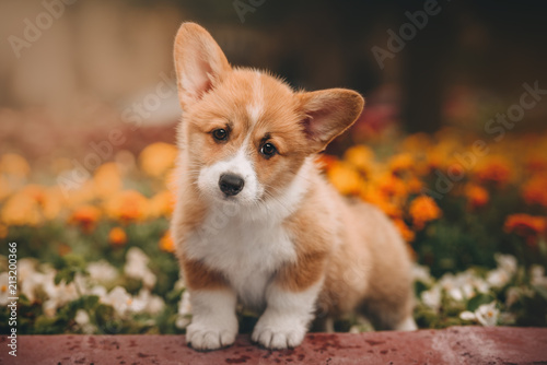 Canvas Print Funny Welsh Corgi Cardigan Puppy at forest