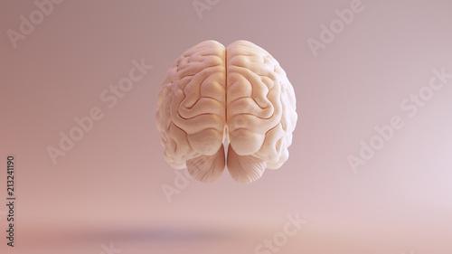 Leinwand Poster Human brain Anatomical Model 3d illustration