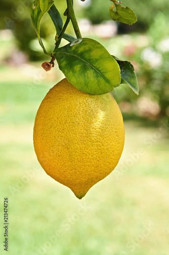 Yellow lemon hanging on branch from citrus tree