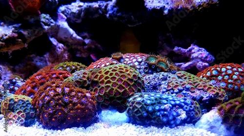 Zoanthus polyps in coral reef aquarium tank