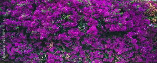 Fotografía Purple blooming Bougainvillea tree flowers