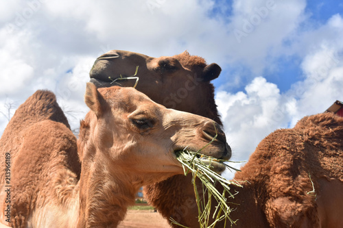 Beautiful Pair of Camels with their Mouths Full of Hay