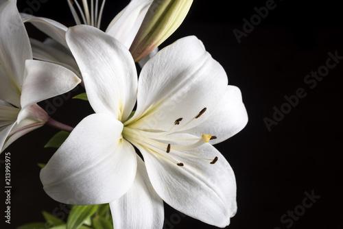 Stampa su Tela White Lily on a black background.