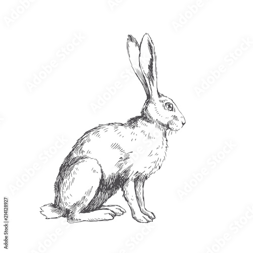Fototapeta premium Vintage ilustracji wektorowych siedzący zając na białym tle. Ręcznie rysowane królik w stylu grawerowania. Szkic zwierząt