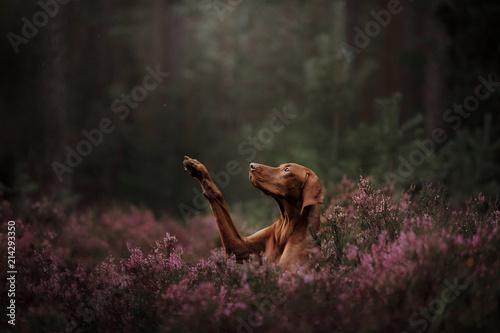 Obraz na plátně Hungarian breed dog
