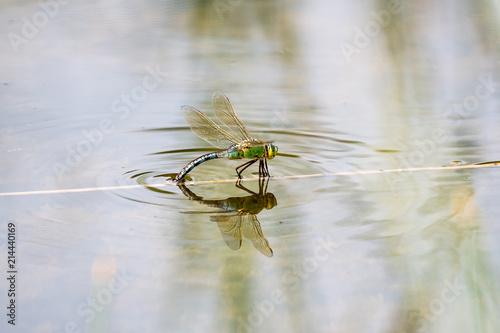 große Königslibelle beim Laichen ins Wasser