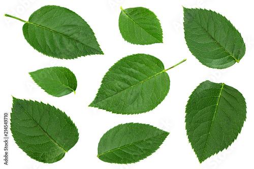 Green rose leaf on white