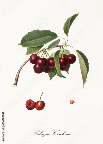 Stampa su Tela purplish succulents cherries on single little branch with leaves and single fruit section with kernel isolated on white background