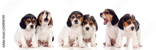 Fotografie, Obraz Six beautiful beagle puppies