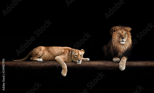Fotografia Lion and lioness, animals family. Portrait in the dark, after sex