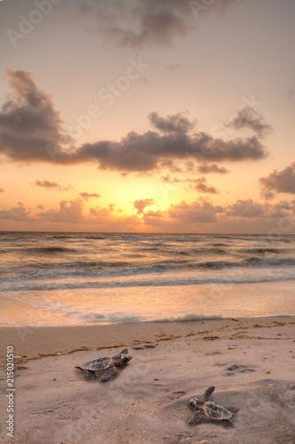 Fototapeta Golden sunset over hatchling turtles Caretta caretta