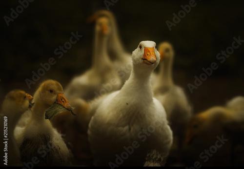 goose Fototapeta