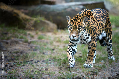 Jaguar, Panthera onca, the biggest cat in South America, walking directly at camera  against blurred rocky background.
