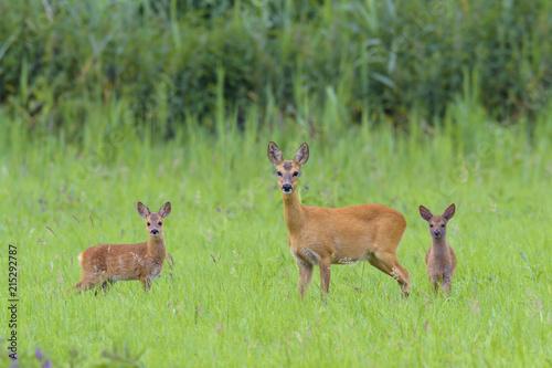 Wallpaper Mural Roe Deer (Capreolus capreolus) Doe with Fawns on Meadow, Hesse, Germany