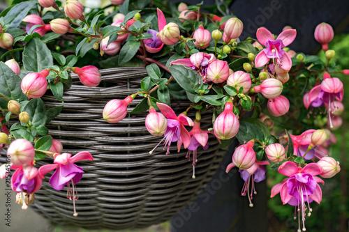 Valokuvatapetti Beautiful fuchsia flowering plants in old wicker pot