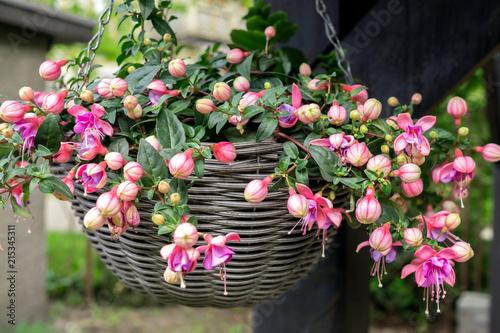 Fotografija Beautiful fuchsia flowering plants in old wicker pot