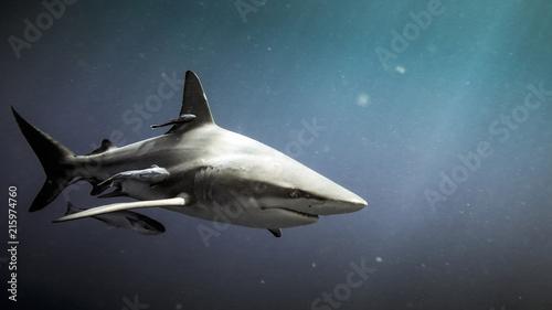 Oceanc blacktip shark (Carcharhinus limbatus) and remora fish underwater in Natal, South Africa