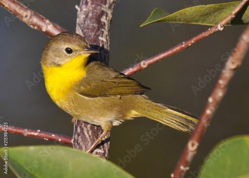 Fotografie, Obraz Yellow Throat Warbler / Female Yellow Throat Warbler in the south Florida Wetlan