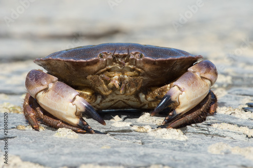 Brown Crab (Cancer pagurus)/Brown Crab on a barnacle covered rock