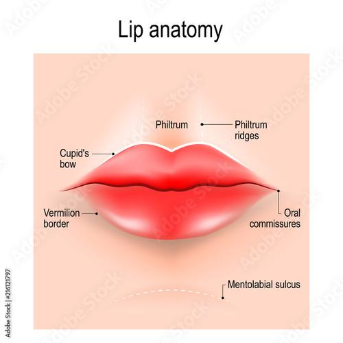Fotografie, Obraz Anatomy of lips.