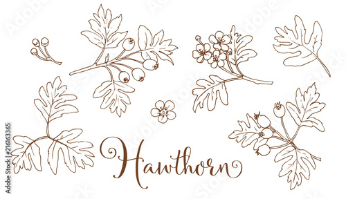 Fotografie, Obraz Collection of hand drawing hawthorn