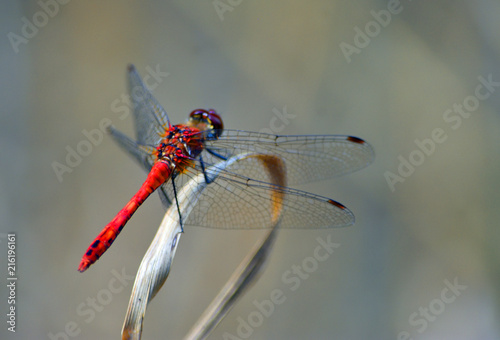 Common Darter  Red  Dragonfly  Symetrum Strriolatum on Grass.
