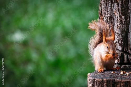 Fotografie, Obraz squirrels eat nuts on a stump in summer