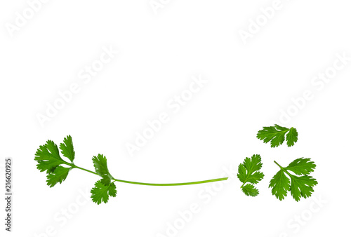 fresh coriander leaves isolated on white background