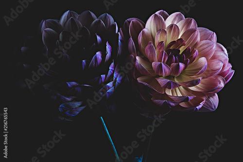 Two colorful dahlia flowers Fototapete