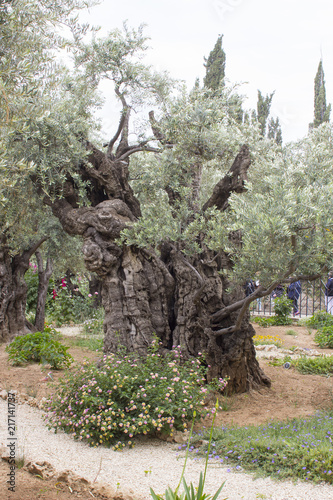 Fototapeta Ancient Olive Trees and young herbaceous plants living side by side in the histo