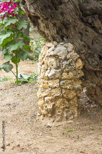 Obraz na plátne Ancient Olive Trees and young herbaceous plants living side by side in the histo