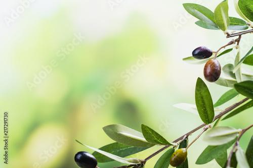Green olive tree branch