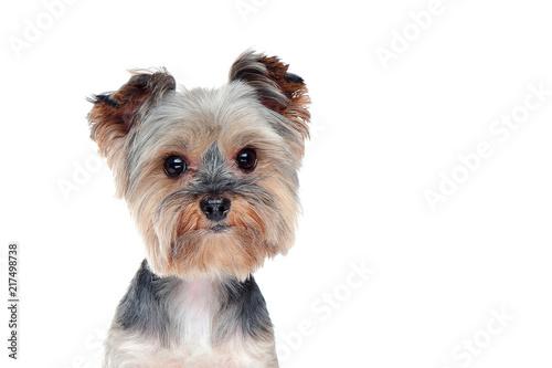Canvas Print Head closeup portrait of a yorkshire terrier