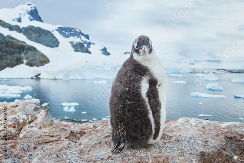 gentoo penguin chic in Antarctica, curious funny animal baby bird portrait looking at camera, antarctic nature wildlife