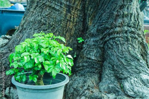 Fotografia, Obraz young tree on flower pot back ancient tree background