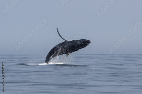 Humpback Whale Breaches Out of Atlantic Ocean Off Cape Cod