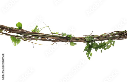 Wild dry liana, jungle vine isolated on white background, clipping path