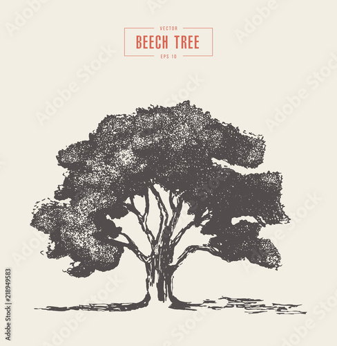 High detail vintage illustration beech tree vector Fototapet