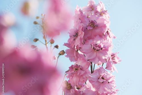 Fotografía Lilac delphinium in the garden.