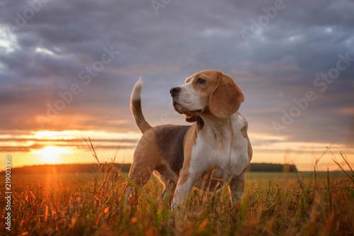 Obraz na plátně Beagle portrait on the background of a beautiful sunset
