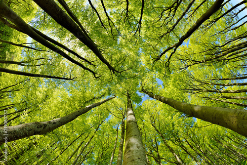 Fotografie, Tablou Beech Trees Forest in Early Spring, from below, fresh green leaves