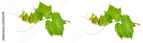 Vine leaves isolated on white .Wide photo.