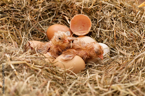 Two newly hatched chicken resting in the hay nest